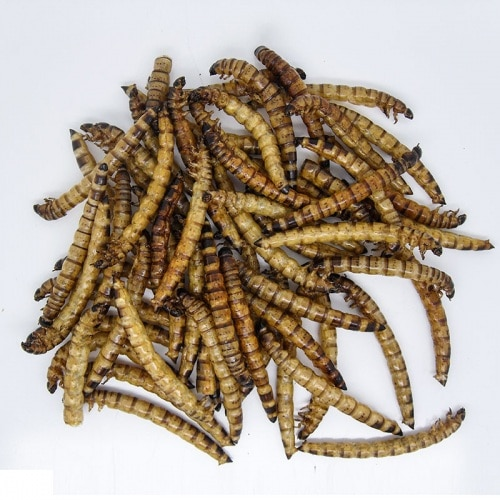 Dynabait fresh superworms fishing bait can be used for catching any freshwater fish